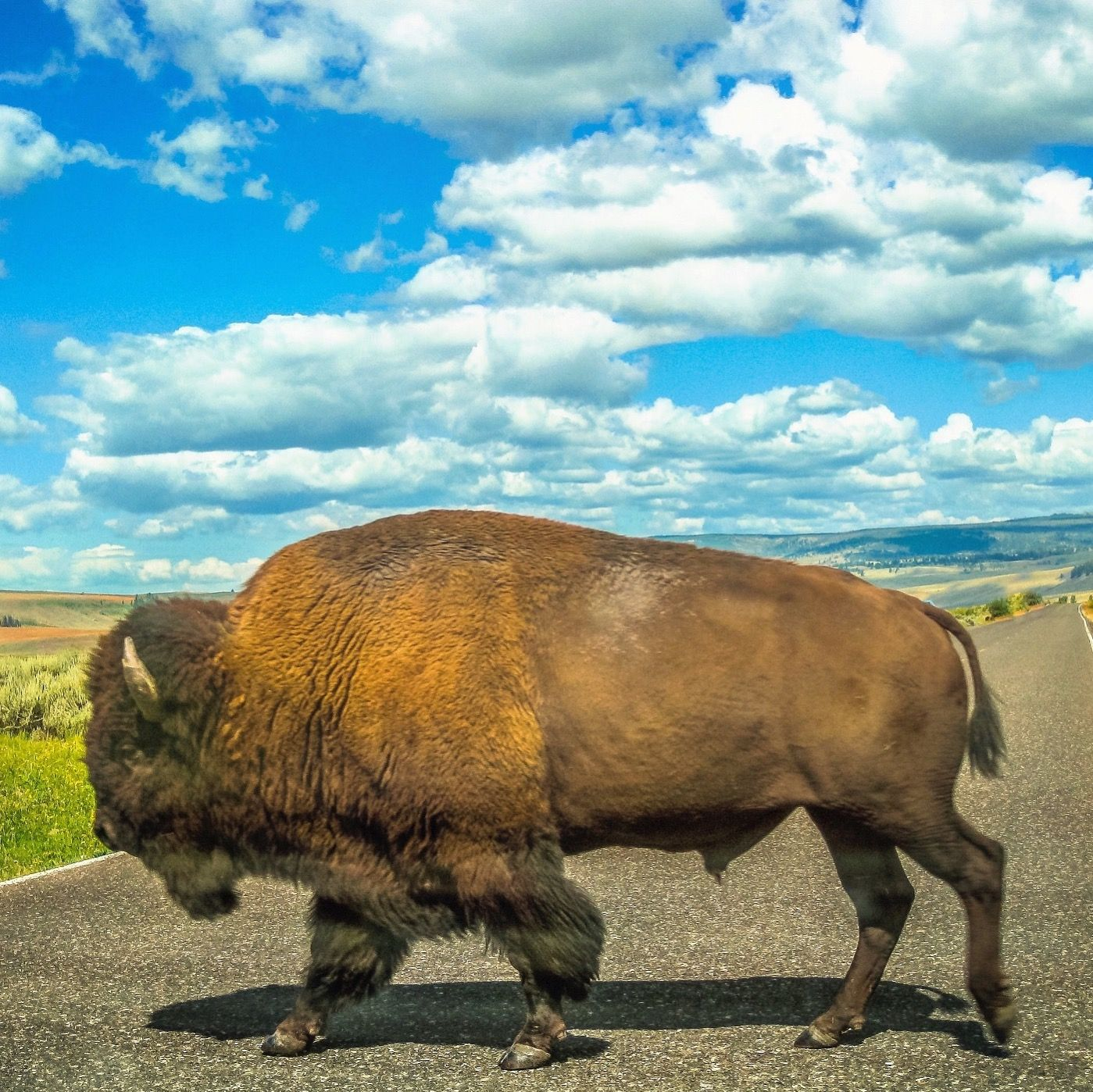 13 The Great American Bison Road Trip
